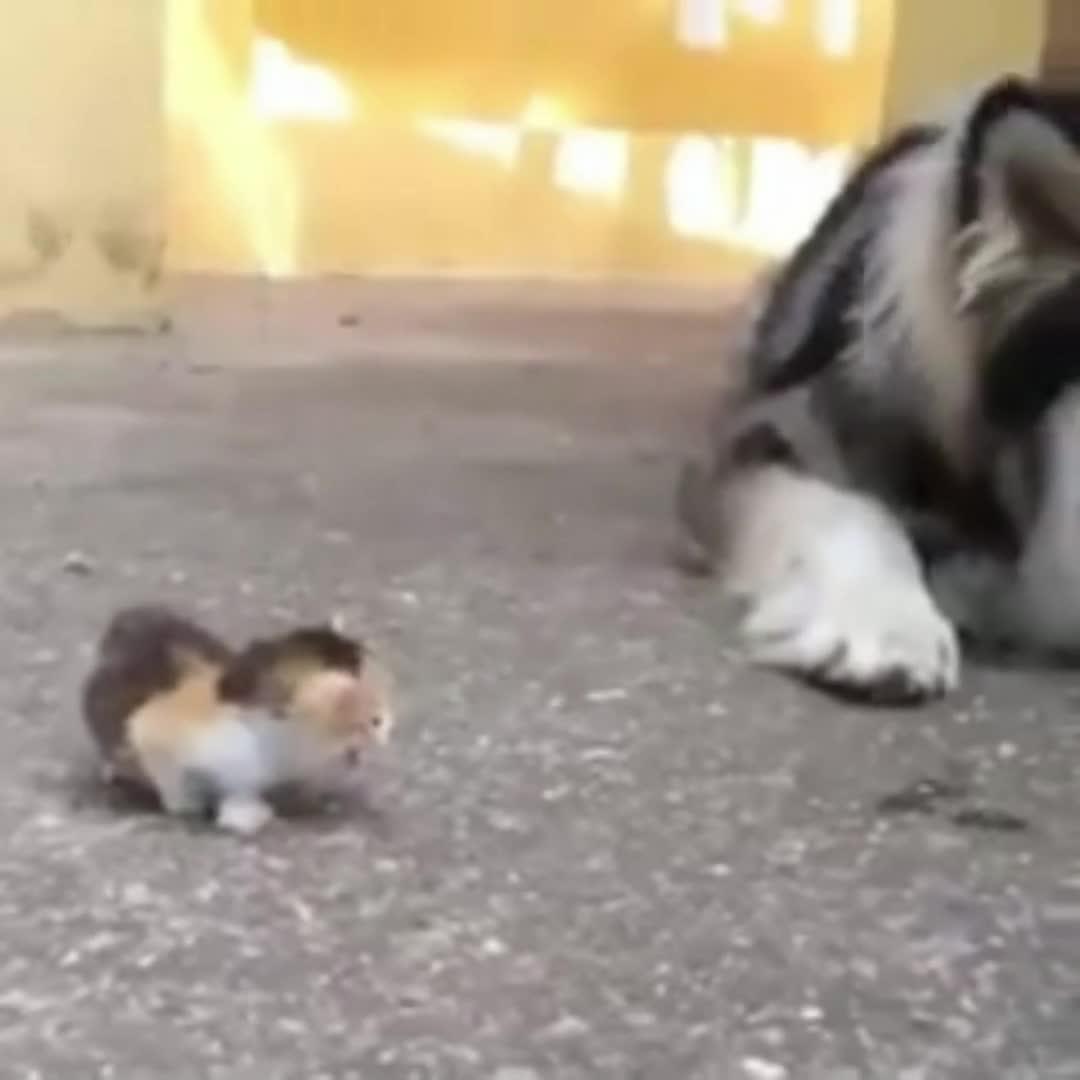 #搞笑趣事#走出自己的路,大狗也不能阻拦!