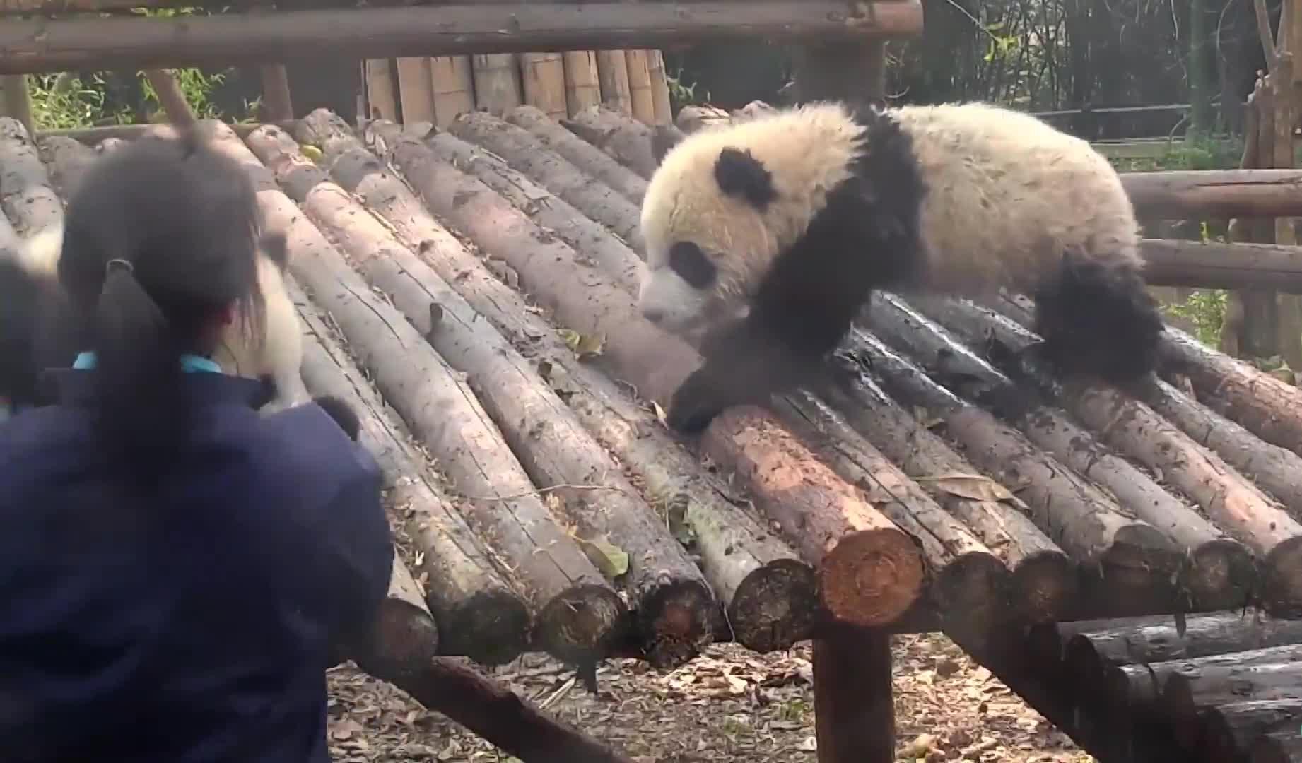 #搞笑动物#奶妈突然抱过来一只熊猫宝宝,结果把刚玩水的宝宝吓了一跳