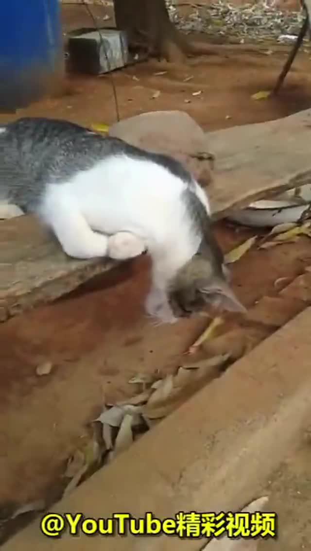 #萌宠#见过打瞌睡的猫咪,没见过睡这么死的...你这样是要被埋的!