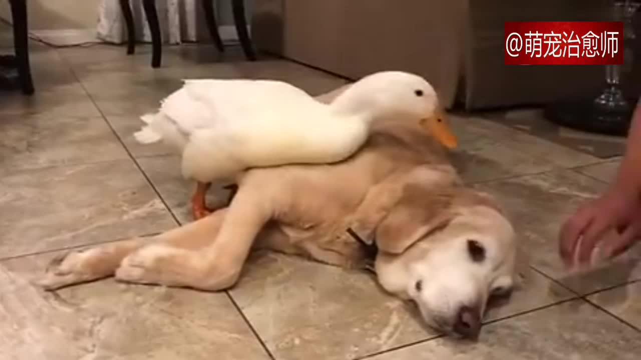 #宠物#鸭子阻止主人摸拉布拉多,却误伤了它的脑袋,心疼狗狗一秒钟!