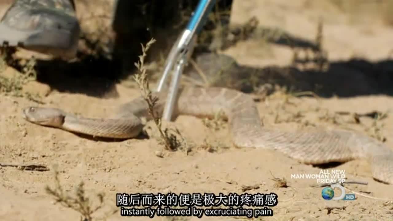 贝尔全服武装,挑逗响尾蛇,让大家看看毒蛇的攻击速度有多快!