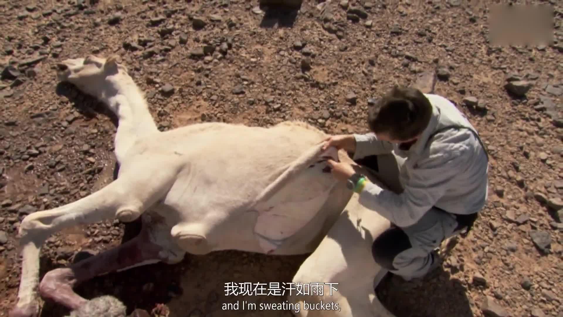 在45度的高温下解刨骆驼,勇敢的贝尔