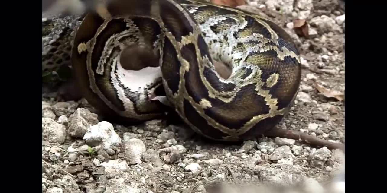 #螳螂捕蛇#只听说过螳螂捕蝉,这回竟然见识了