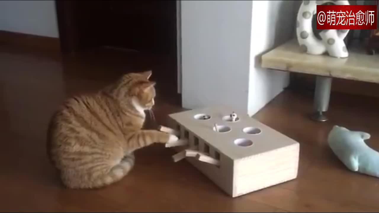#宠物#主人给猫咪做了个自动逗猫器,猫:我能玩一年!