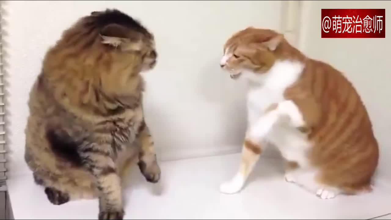 #宠物#两只猫咪一言不合就打架起来,橘猫下手可真重啊!