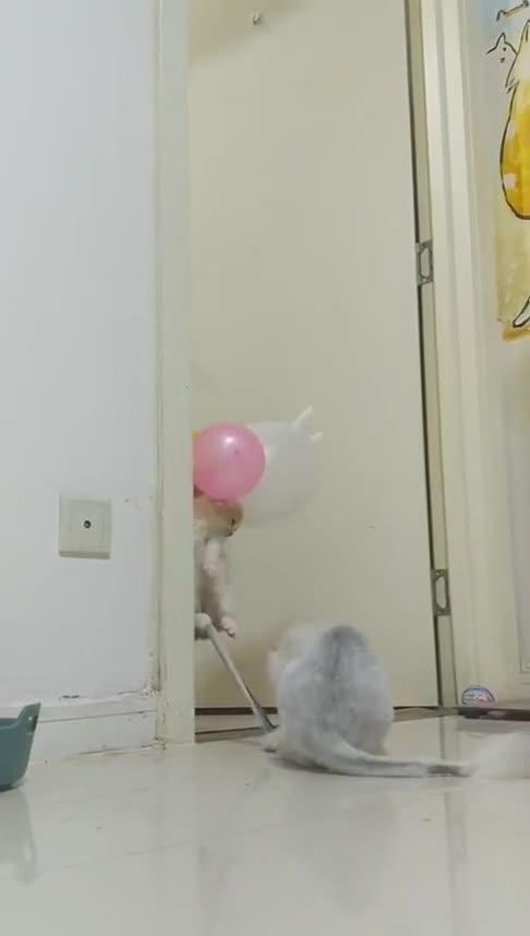 #动物#猫:兄弟救我下来呀,我咋飞起来了!