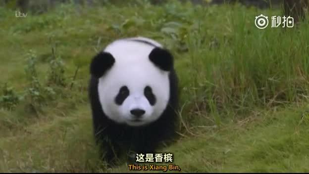 熊猫大团子