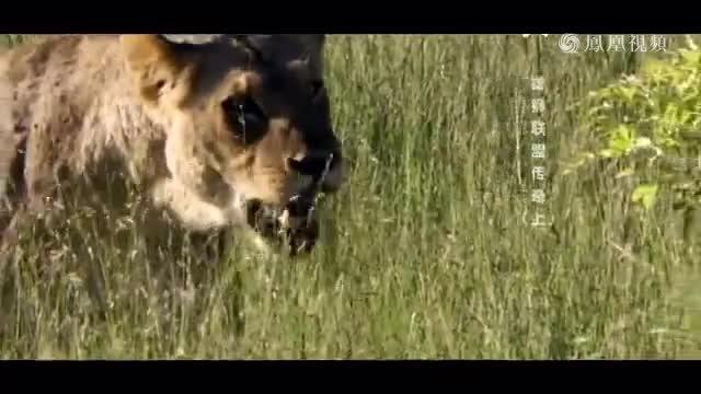 30头雄狮大战100头水牛,结果竟然是这 样!
