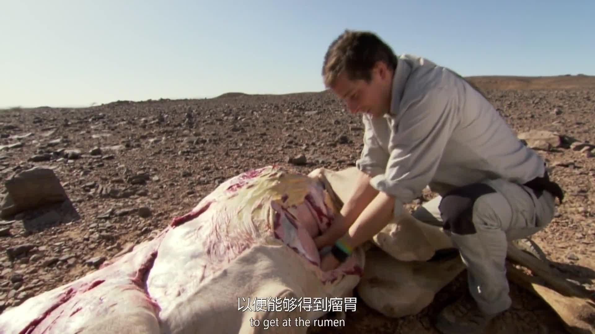 贝尔竟然打开死过骆驼我胃,从胃里找东西吃