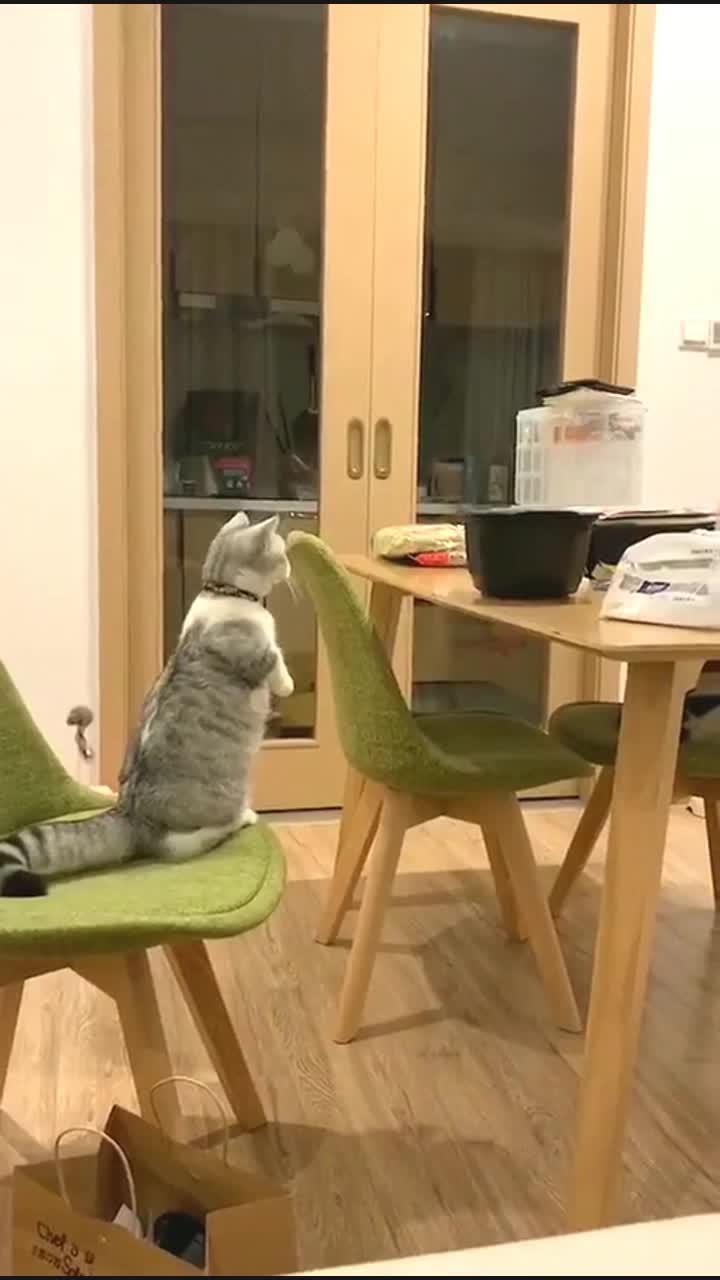 猫咪:咦,我的腿怎么这么短了啊,摔死我了!