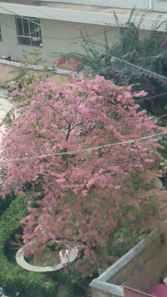 樱花开得正盛哟,呵呵