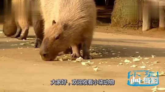 荷兰猪跟天鹅抢食物,却遭到天鹅的攻击,荷兰猪:脖子长了不起?