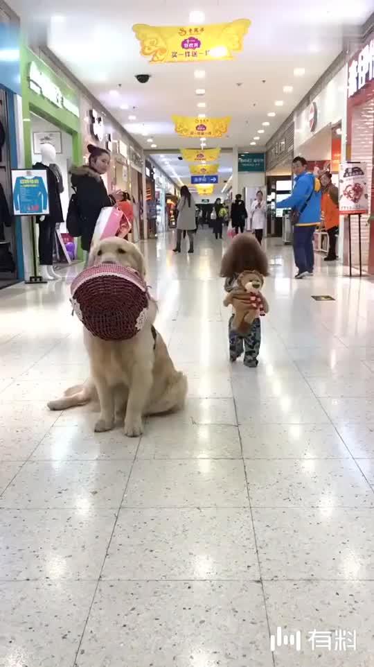 泰迪们在商场里这么闹,还引来了围观!太可爱了哈哈!