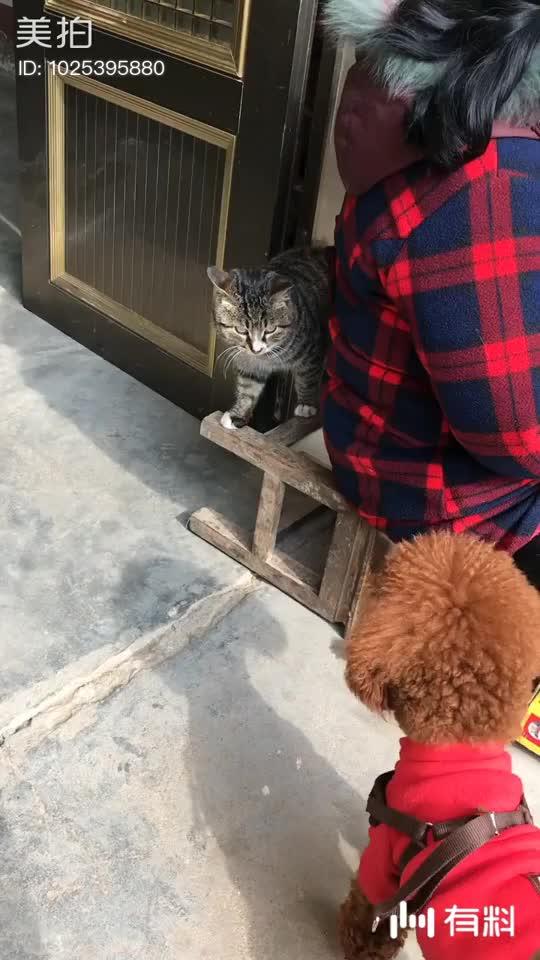 回来第一天,猫躲着德芙 回来第二天