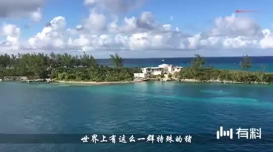 全球唯一以猪命名的岛屿, 无数游客慕名前来, 网友: 活的不如猪