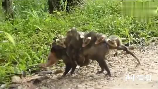 看看大鼠拖家带口的搬家,不容易啊,这才是压力山大!