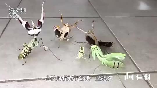 直击:世界最凶猛的螳螂猎杀毒蛇,而毒蛇却毫无还手之力