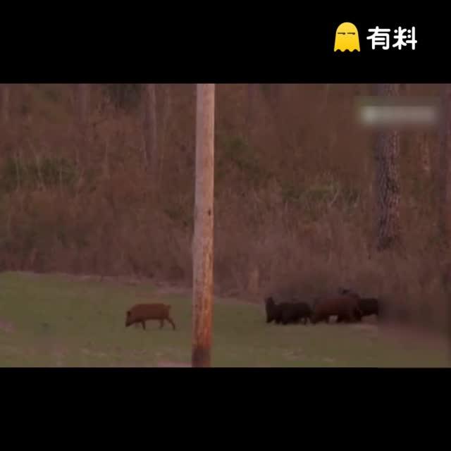 实拍美国男子设陷阱关住数十只野猪 逐一狙杀