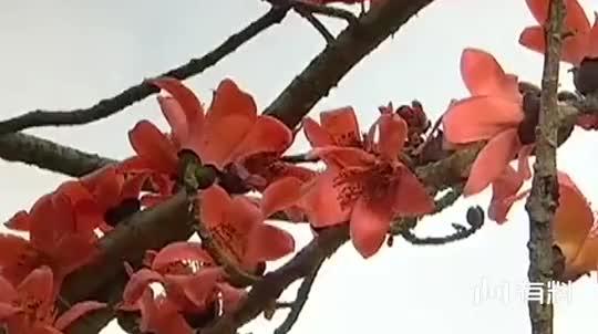 木棉花的春天:佩云赖定耀华,二人在母亲坟头就说起儿媳妇!