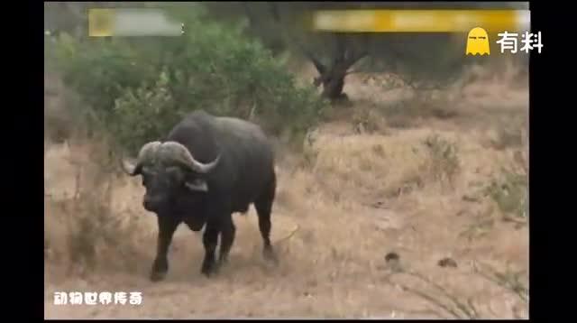 一头雄狮大战600公斤水牛3小时 水牛绝望时突然杀出个大家伙